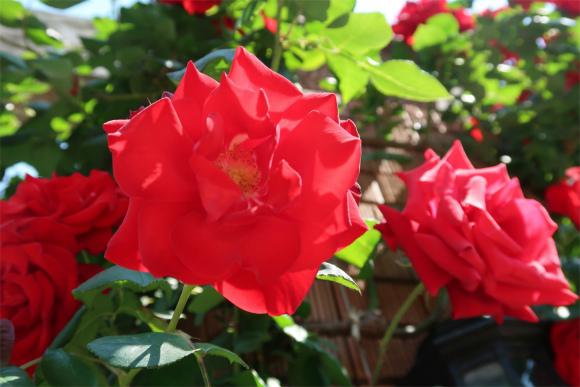 山下公園真っ赤なバラ花