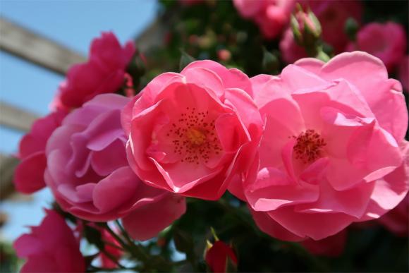バラの花匂いも芳醇