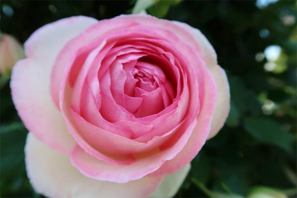 可憐な山下公園のバラの花