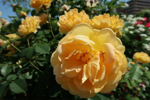 黄色の薔薇の花も最盛期