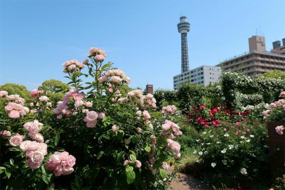 マリンタワー山下公園バラと夢のコラボレーション