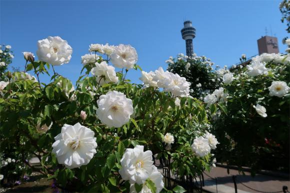 バラのお花純白に包まれる瞬間