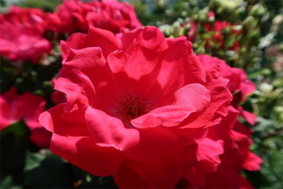 情熱的な薔薇の花