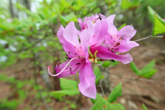 ミツバツツジの花芽が少なく迫力に欠ける