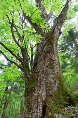 都民の森のランドマークツリー