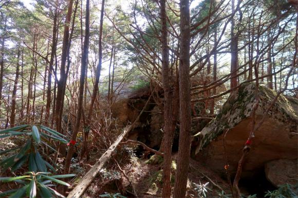 瑞牆山東尾根倒木と石楠花の藪道