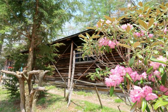 富士見平小屋周辺のシャクナゲ