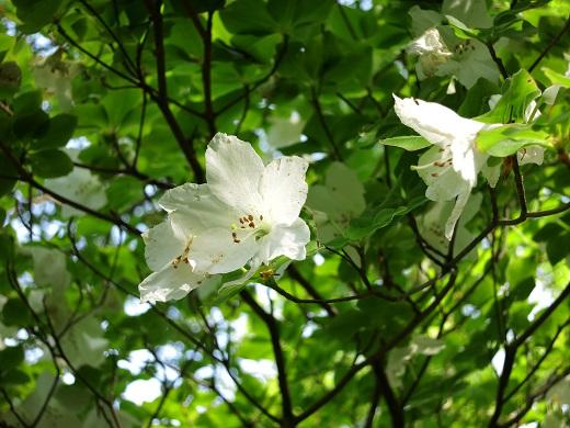 純白のシロヤシオ