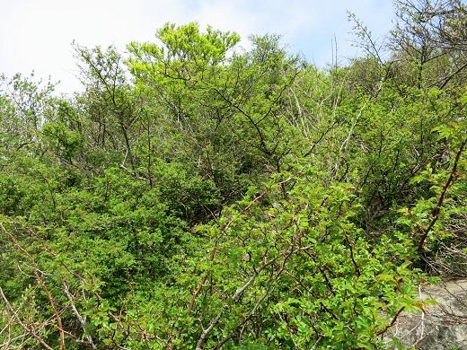 蛭ヶ岳南稜天然の茨の道