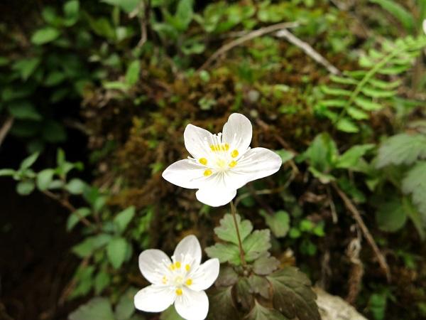 臼ヶ岳方面お花