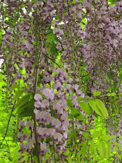 ユーシンロッヂ藤の花