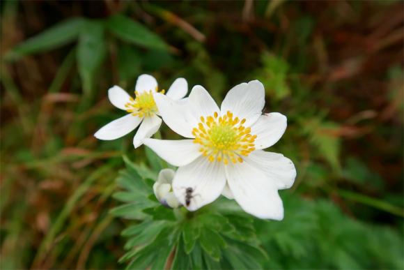 お花が大日岳への登山ルート上に咲いている