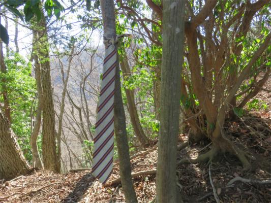 大山ネクタイ尾根の名物である有名なネクタイ木にぶら下がる