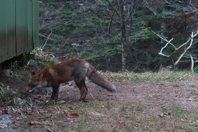 笠取小屋狐