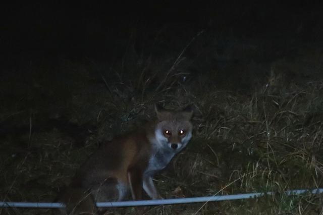 f笠取小屋周辺に住み着いているキツネ