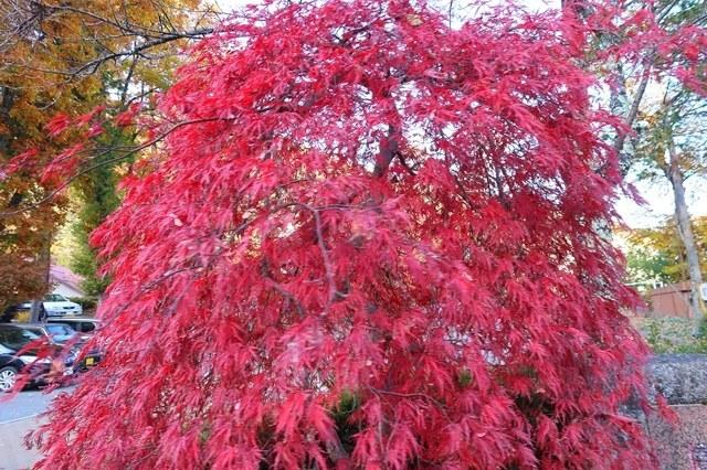 こまくさの湯の駐車場に綺麗な紅葉