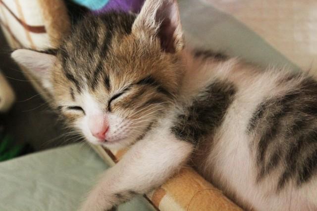 よく眠っている子猫の写真