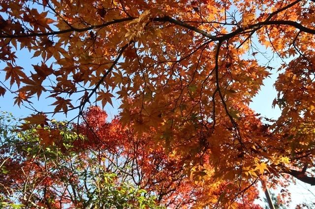 宮ヶ瀬の紅葉の様子