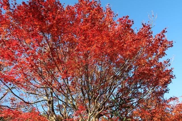 紅葉の宮ヶ瀬湖