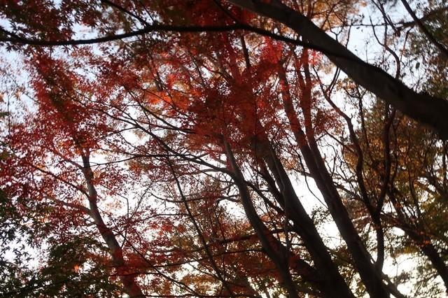 大倉尾根の紅葉暗い