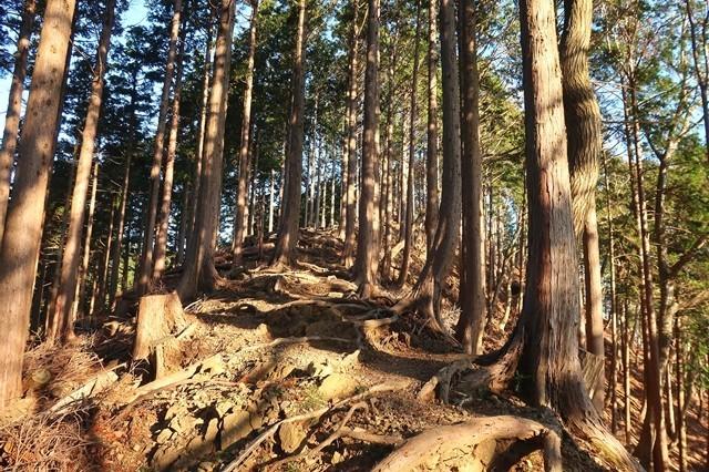 梅ノ木尾根杉の木