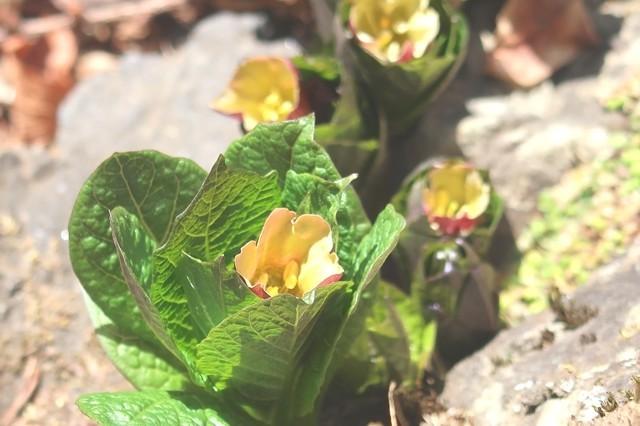 奥多摩にも春の花