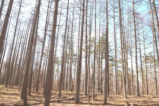 丹波天平の落葉松景色