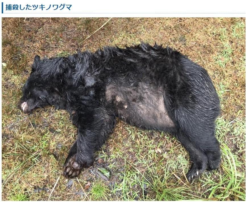 捕殺されたツキノワグマの写真