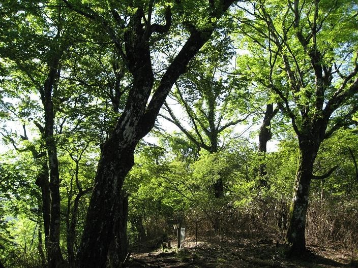 犬越路避難小屋から大笄の間の登山道は新緑が素晴らしい