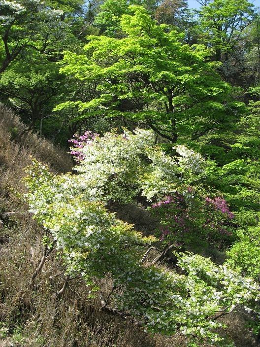 檜洞丸登山道ミツバツヅジ・シロヤシオの木々