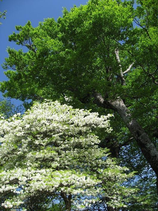 青空にシロヤシオと新緑が映える