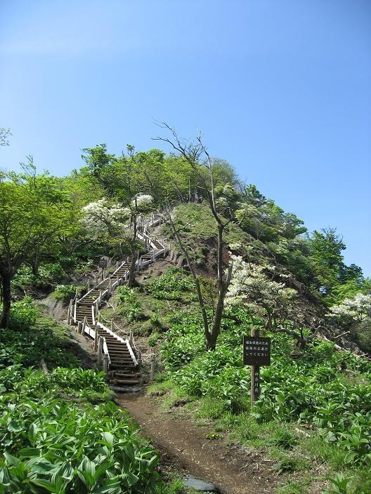 檜洞丸丸へのルート上多くのシロヤシオの木々白い花