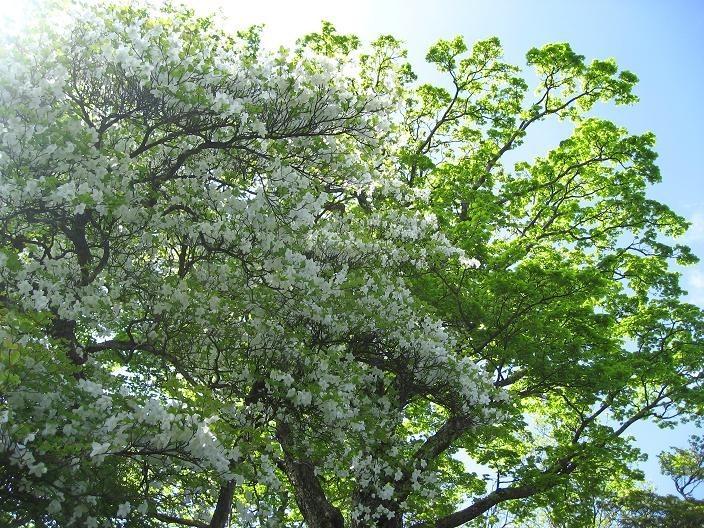純白のシロヤシオゴヨウツヅジとも呼ばれる