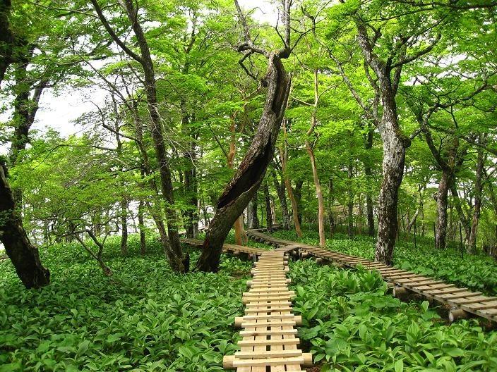 檜洞丸バイケイソウが木道を覆いそうな勢い