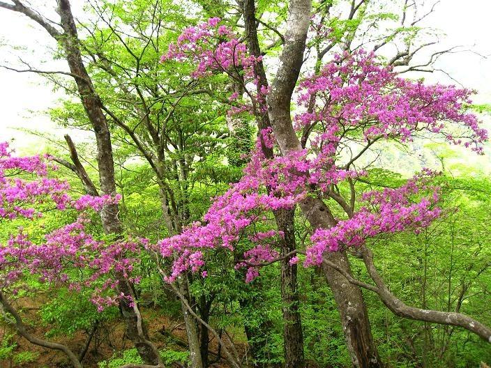 同角ノ頭ツツジの花