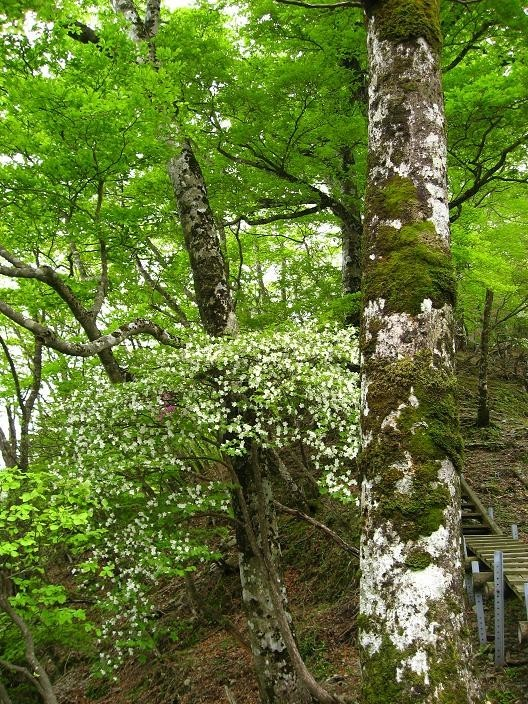 同角山稜シロヤシオ・ミツバツツジの木々