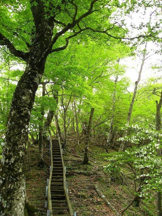 同角山稜ブナの新緑
