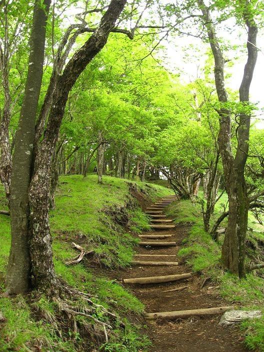 鍋割山稜の新緑