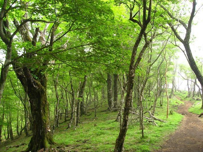 鍋割山稜のブナ林景色