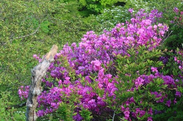 花立山荘~塔ノ岳の間ツツジの花
