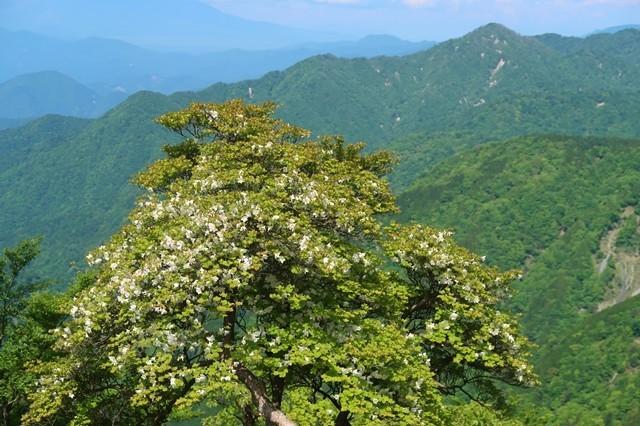 丹沢山登山道シロヤシオの花
