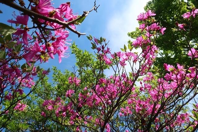 ミツバツヅジの花ツツジの季節