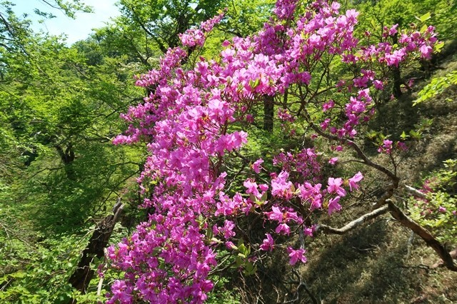 蛭ヶ岳山荘のルート上、結構ツツジの花が咲いていた