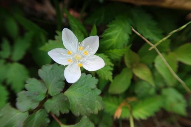 丹沢蛭ヶ岳周辺白いお花咲いていた