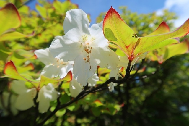 丹沢の名物シロヤシオがルート上で咲いている