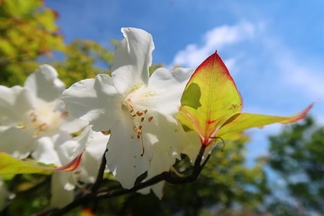 蛭ヶ岳山荘の直下周辺シロヤシオの木が多い