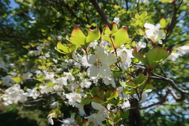 標高の高い蛭ヶ岳周辺シロヤシオのお花