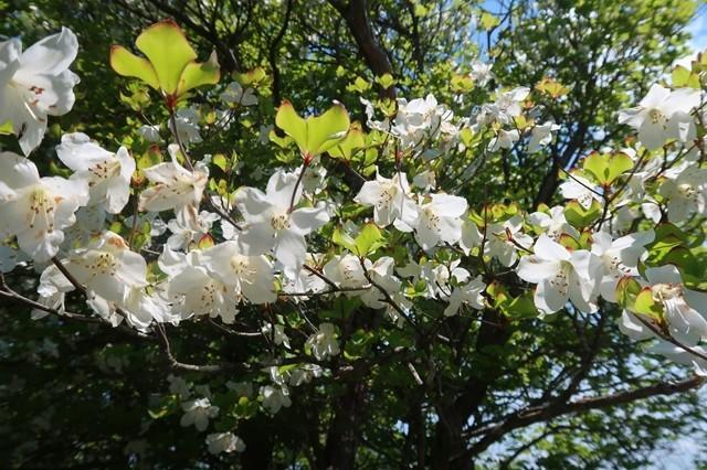 シロヤシオのお花純白で綺麗