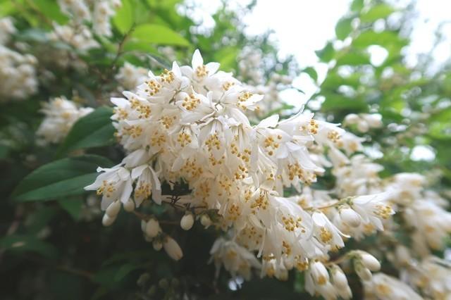 シャガクチ丸の白いお花