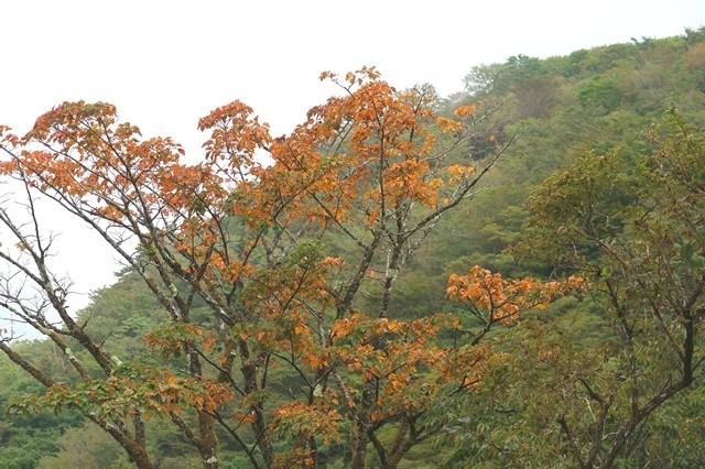 鍋割山の登山ルート上の木々が紅葉している